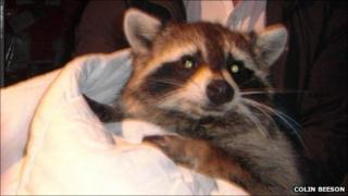 Raccoon caught in conservatory in Chandler's Ford