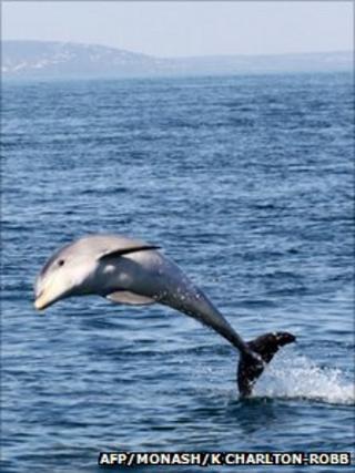 Burrunan dolphin (AFP PHOTO / MONASH UNIVERSITY / KATE CHARLTON-ROBB )