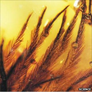 Clumped feather barbs in late Cretaceous amber