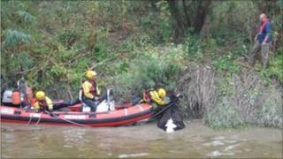 Cow rescue River Severn