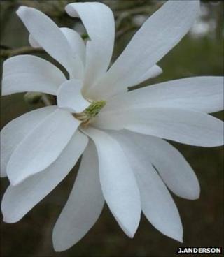 Magnolia stellata (Image: John Anderson)
