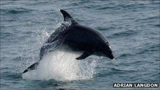 Bottlenose dolphin (pic: Adrian Langdon)