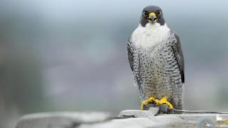 Peregrine falcons like this one were found poisoned in Cornwall.