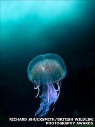 Jellyfish [Pic: Richard Shucksmith/British Wildlife Photography Awards]