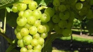 Grapes from Oak Hill Wines, Fressingfield
