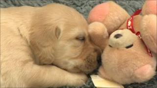 Puppy at the new guide dog breeding centre