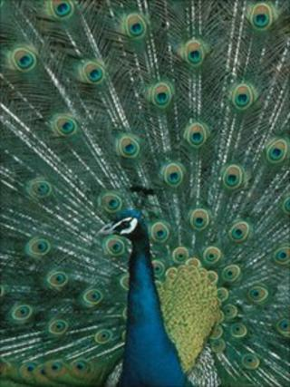 Peacock with tail feathers spread