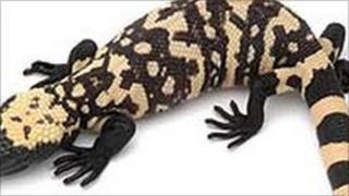 The Gila monster lizard