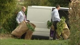Cannabis plants being removed