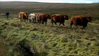 Orkney cattle