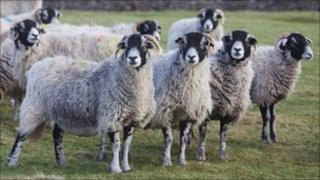 Swaledale sheep on the Cumbrian Fells. Photo: BBC