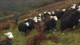 English Lake District sheep farmer Andrew Harrison and his flock