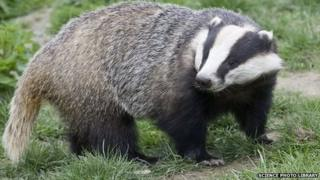 Badger with head turned