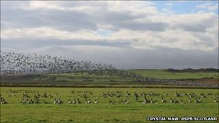 Barnacle geese at RSPB Scotland Loch Gruinart - Crystal Maw, RSPB Scotland
