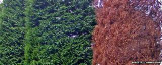 Lawson cypress killed by Phytophthora lateralis (Image: Forestry Commission)