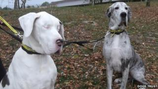 Lily the Great Dane and her guide dog Maddison