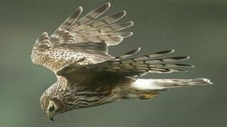 Female hen harrier in flight