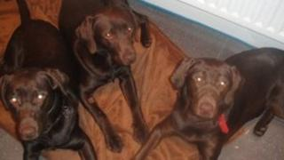 Louis, Mo and Percy, the three chocolate Labradors belonging to Jade Park.