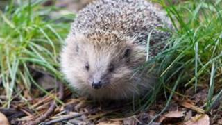Percy the hedgehog