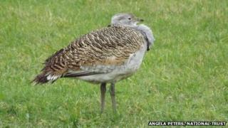 Great bustard on farmland owned by The National Trust near Langton Matravers in south Purbeck by Angela Peters, National Trust