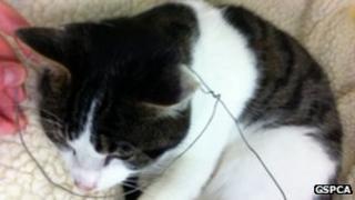 Rabbit snare around a cat's neck