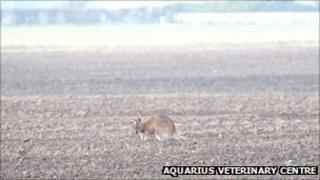 Sheila the wallaby in a field in Cambridgeshire