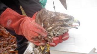 Rescued buzzard