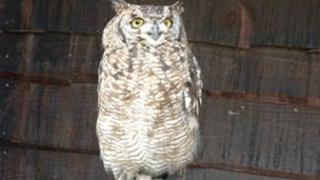 African Spotted Eagle Owl at the sanctuary