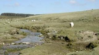 Sheep grazing on Bodmin Moor