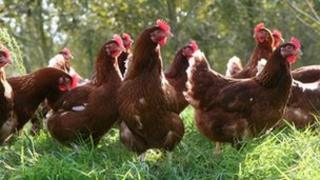 Former battery hens in the sunshine at Tadbeer farm, Somerset