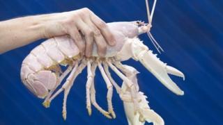 The albino lobsters Santa Claws