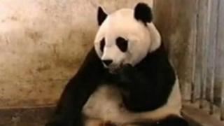 The famous 'Sneezing Panda' clip on YouTube