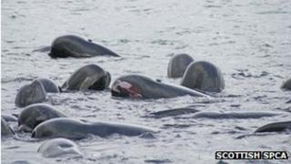 A pod of pilot whales