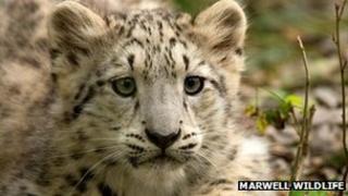 Kitana the snow leopard