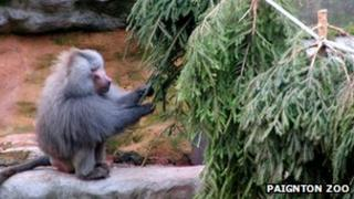 Baboon playing with old Christmas tree