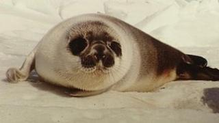 Seal in Canada