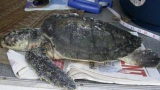 The Kemp's ridley sea turtle found on the Isle of Tiree