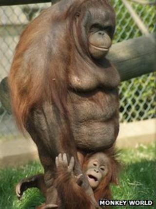 Bornean orangutan, Oshine, with orphaned baby orangutan Silvestre.