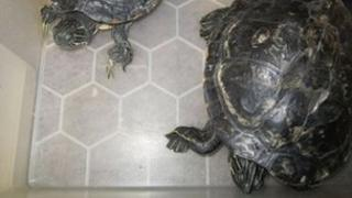 The two terrapins found in Oxford