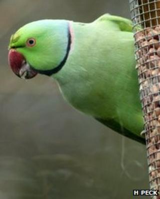 Ring-necked parakeet (Image: Hannah peck)