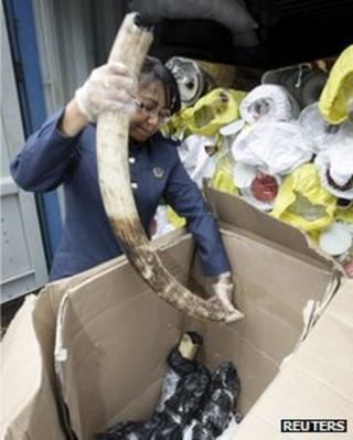 A Malaysian customs officer inspects recently seized elephant tusks in Port Klang (09.01.12)