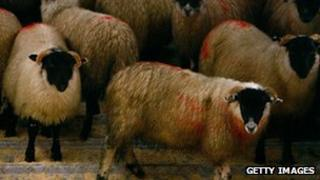 Sheep on lorry in Scotland - file pic