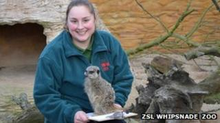 Meerkats with zoo keeper