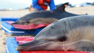 Dolphins washed up off the coast of Cape Cod