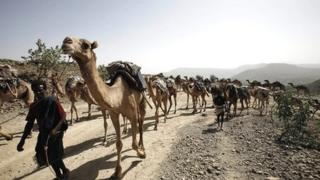Camels carrying salt are led along a road in the Afar region of Ethiopia