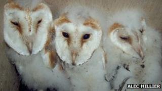 Barn owls by Alec Hillier
