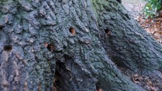 Oak tree with four drilled holes