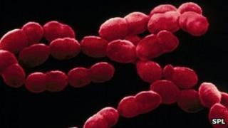 Streptococcus pneumoniae bacteria