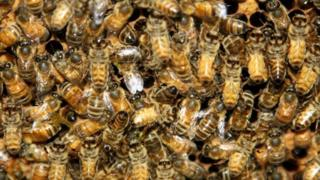 Bees on wax comb