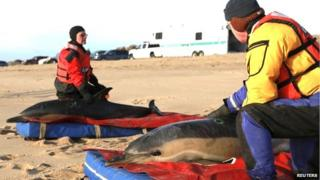 Rescuers tending to dolphins on a beach